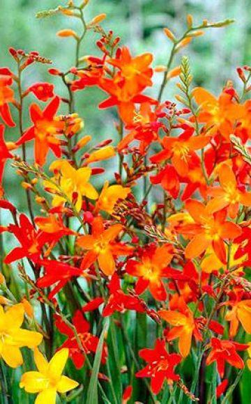 Opis i značajke uzgoja japanskih gladiola, sadnja i njega