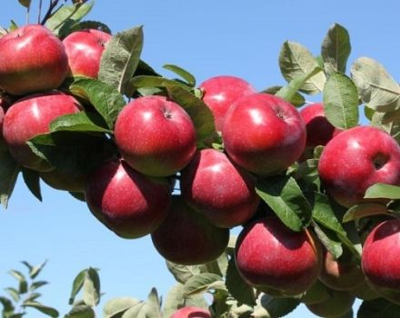 Milyen almafafajtákat lehet jobb ültetni az Urálban, a választott tulajdonságok és a fajok jellemzői
