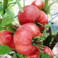Charakteristika a opis odrody paradajok Raspberry zázrak, jeho výnos
