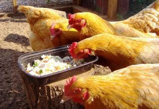 Egy egyszerű recept a tojástermelés növelésére otthon