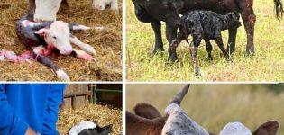 Az otthon borjak gondozására és a fiatal állatok lehetséges betegségeire vonatkozó szabályok