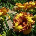 Ültetés és nappali liliomok gondozása a szabadban, növekedés és téli felkészülés