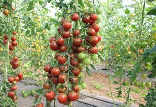 Características y descripción de la variedad de tomate Spasskaya Tower, su rendimiento.