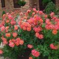 Descripción de variedades de rosas en aerosol, reglas para plantar y cuidar en campo abierto.