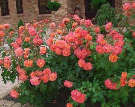 A permetezhető rózsák fajtáinak leírása, az ültetés és a szabadtéri gondozás szabályai