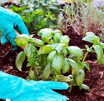 Cómo cultivar y cuidar la albahaca en un invernadero.