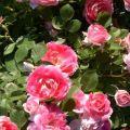 A rózsafajták ismertetése Permetezés, ültetés és gondozás kezdő kezdőknek