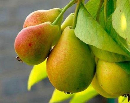 Opis a vlastnosti odrody hrušiek Prosto Maria, kultivácie a opeľovačov