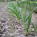 A herbicidek típusai és felhasználása a fokhagyma gyomnövényeihez