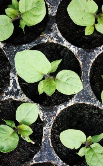 Când să plantați vinete pentru răsaduri, cronometrare și îngrijire la domiciliu