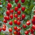 A paradicsom legédesebb fajtáinak kiválasztása nyílt talajban és üvegházakban