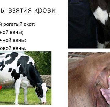 Pravila i 3 tehnike uzimanja krvi iz goveda, priprema i moguće pogreške