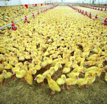 La cría de patos como negocio es rentable o no, la rentabilidad de la cría