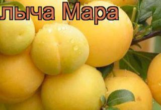 Descrierea soiului de prune cireșe Mara, polenizatori, plantarea și îngrijirea, recoltarea și depozitarea culturilor