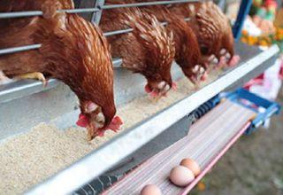 Cuánta harina de pescado dar a las gallinas ponedoras, los beneficios y las reglas para usar diferentes tipos.