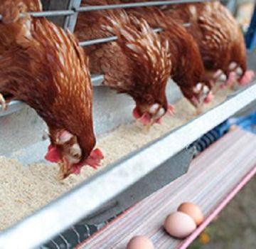 Combien de farine de poisson donner aux poules pondeuses, les avantages et les règles d'utilisation des différents types