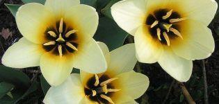 A botanikai tulipán fajtáinak leírása, ültetési és gondozási jellemzői