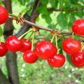 Caracteristici și descriere a cultivării timpurii Shpanka de cireșe, polenizatoare și soiuri