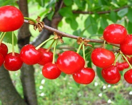 Caractéristiques et description du cultivar, des pollinisateurs et des variétés précoces de cerises Shpanka