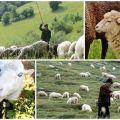 A juhok hektáronkénti legeltetésére vonatkozó szabályok és normák, az óránként megengedett fű mennyisége