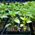 Causas y tratamiento de las enfermedades de los pimientos, cuando las plántulas tienen espinillas y hojas rizadas.