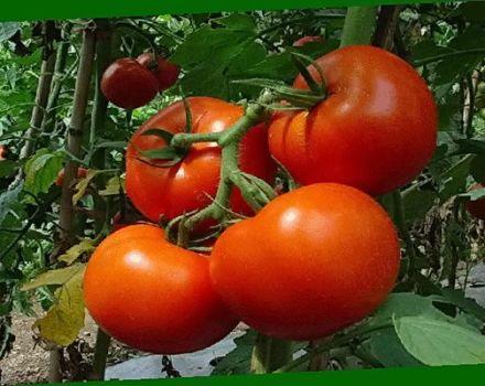 Descrierea și caracteristicile soiurilor în creștere de tomate Perseus