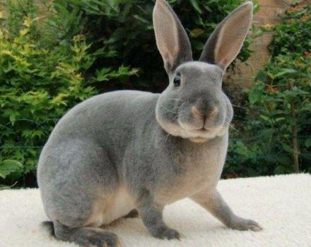 Beschrijving en kenmerken van Rex-konijnen, onderhoudsregels