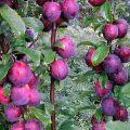 20 cele mai bune soiuri de prune coloane, cu o descriere, reguli de plantare și îngrijire
