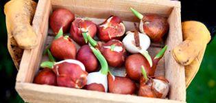 ¿Cómo y dónde es mejor almacenar los bulbos de tulipanes, las reglas y la elección del lugar?