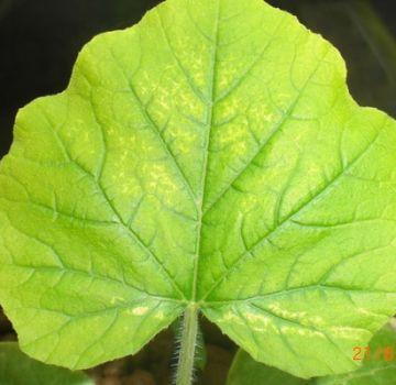 Was tun, wenn Gurken blasse Blätter haben, wie füttern?