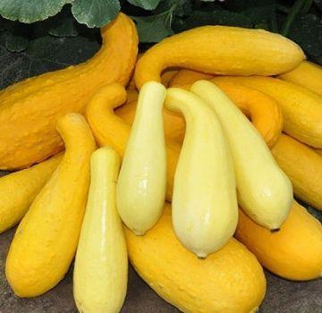 Kuvaus parhaimmista keltaisista kesäkurpitsalajeista, joita voidaan käyttää ja viljellä