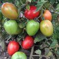 Les meilleures variétés de tomates fructueuses précoces à faible croissance pour les sols ouverts
