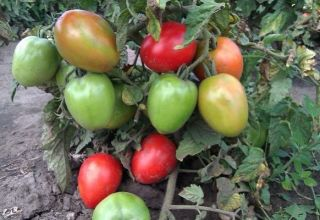 De beste vroege, laagblijvende variëteiten van productieve tomaten voor de volle grond