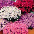Opis odrody Novobelgiskaya aster, výsadby a starostlivosti o rastliny