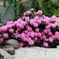 Szabadtéri rododendronok ültetésének és gondozásának szabályai, a téli felkészülés