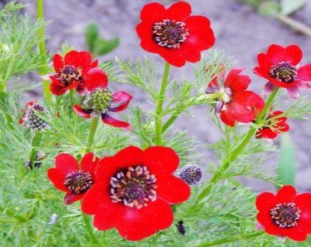 Pravidlá výsadby a starostlivosti o letné Adonis, pestovanie kvetov a odrôd