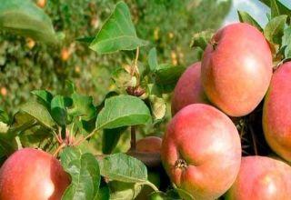 Az Avenarius almafajták előnyei és hátrányai, a téli keménység és a növekedési régiók jellemzői