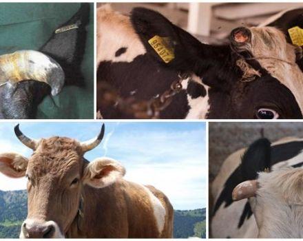Van-e egy tehénnek szarv, és miért van szüksége szarvra, szerkezetére, és hogyan kell eltávolítani és használni?