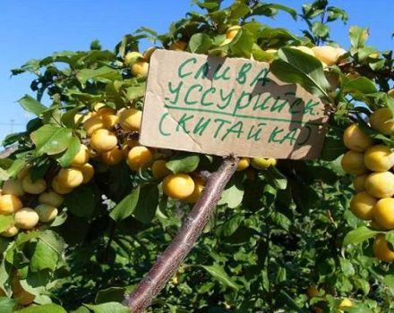 Descrierea soiului și tipurilor de prune Ussuri, caracteristici distinctive și cultivare