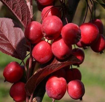 Ranetok-omenalajikkeiden kuvaus ja ominaisuudet, kypsymisajat ja sadonhoito