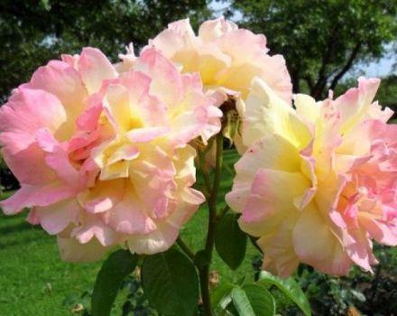 Beschreibung der Rosensorte Gloria Day, Pflanzen, Wachsen und Pflegen