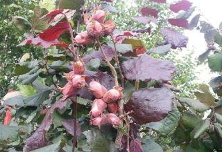 Descripción y características del avellano de hoja roja, plantación y cuidado, reproducción.
