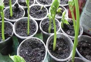 Hogyan kell megfelelően termeszteni a babot otthon, lépésről lépésre a kezdők számára
