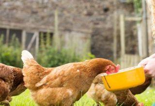 Comment donner de l'huile de poisson liquide et en capsule aux poules pondeuses, règles de dosage