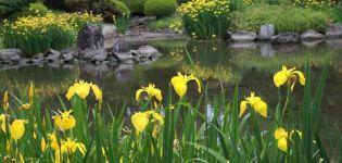 A mocsári írisz leírása, ültetés, termesztés és gondozás a szabadban