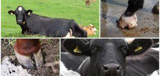 Características de la estructura de las pezuñas de la vaca, de qué partes consisten y cuántos dedos de los pies.