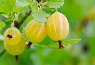 Descripción de la variedad de grosella espinosa rusa amarilla, cultivo y cuidado.