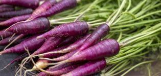 Propiedades útiles, descripción y características del cultivo de zanahorias moradas.