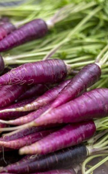 Propriétés utiles, description et caractéristiques de la culture des carottes violettes