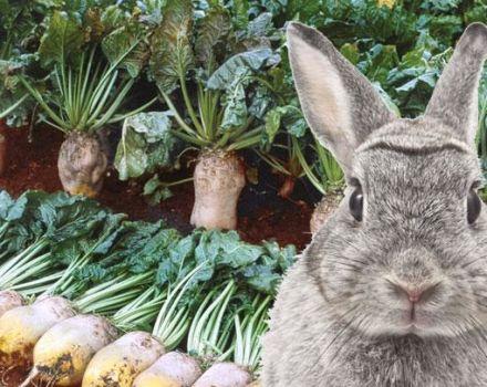 Este posibil și cum se oferă în mod corespunzător iepurilor sfeclă de zahăr, metode de recoltare